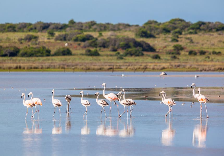Uruguay flamingos